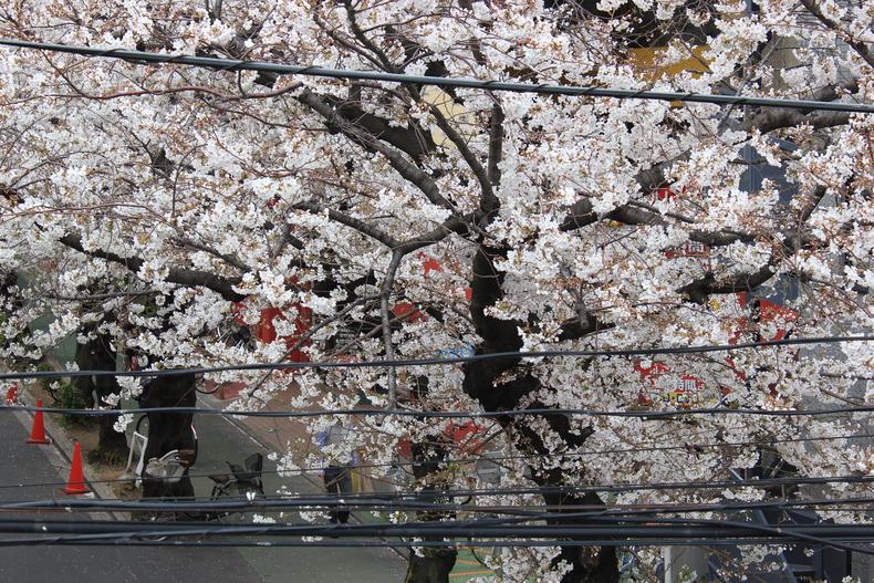 2013年の桜001