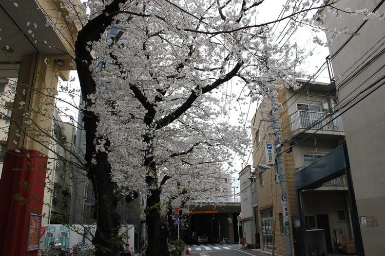 2013年の桜002