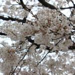 2013年の桜003