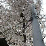 2011年の桜001