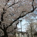 2011年の桜004