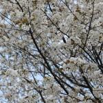 2011年の桜005