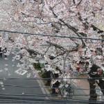 2012年の桜001